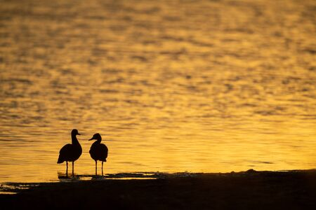 Two Canada geese by pond at sunrise