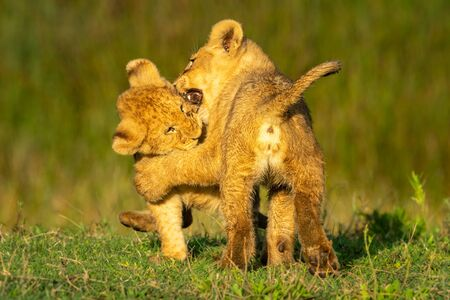 Two lion cubs playfully biting each other