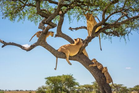 Two lionesses and three cubs in tree