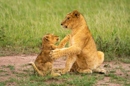 Two lion cubs sit pawing each other