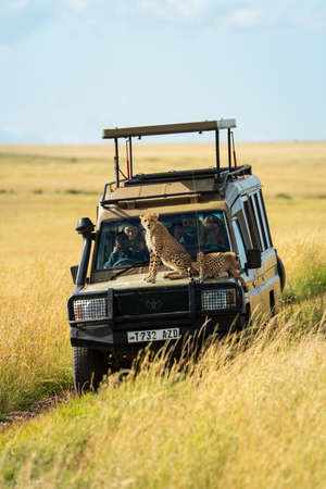 Two cheetah cubs lie and sit on truck Editorial