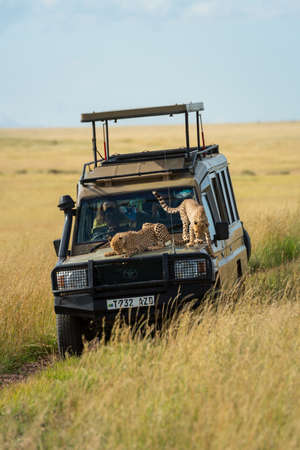 Two cheetah cubs try to get off truck