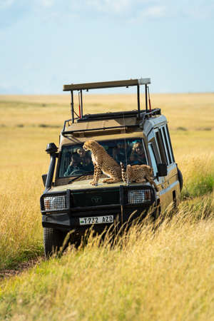 Two cheetah cubs sit and lie on truck Editorial