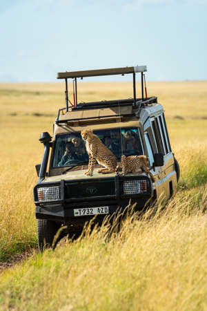 Two cheetah cubs sitting and lying on truck