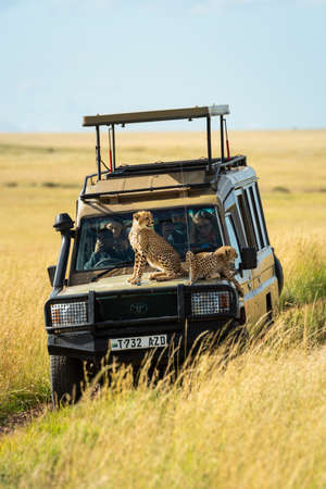 Two cheetah cubs lying and sitting on truck