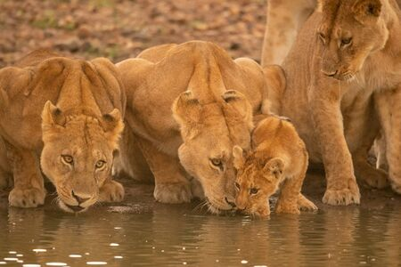 Two lionesses lie drinking water beside cub