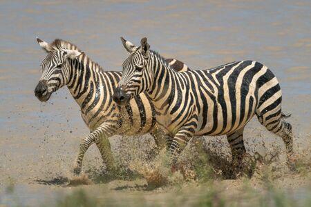 Two plains zebra trot side-by-side through lake