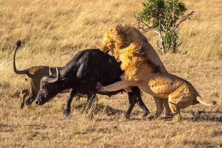 Two male lion attack buffalo near another Standard-Bild