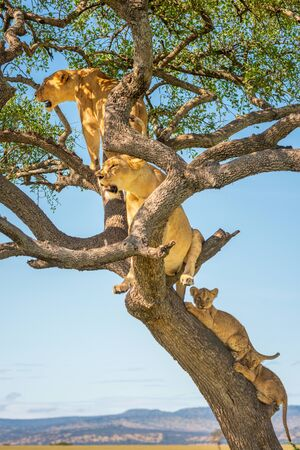 Two lionesses sitting in tree with cubs