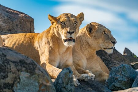 Two lionesses lie on rock looking down
