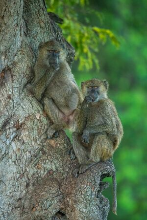 Two olive baboons in tree facing camera Standard-Bild