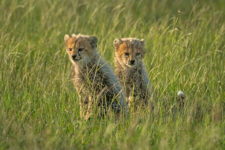 Two young cheetah cubs sit in grass