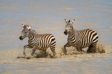 Two plains zebra splash through muddy lake