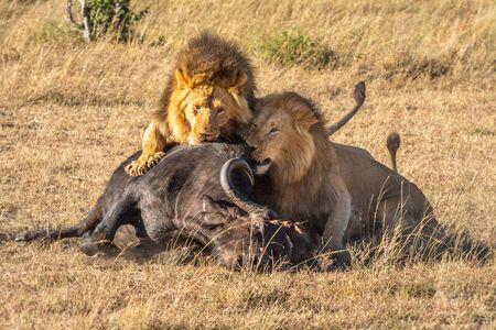 Two male lion feeding on Cape buffalo