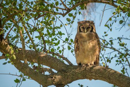 Verreaux eagle-owl in dappled sunlight in tree
