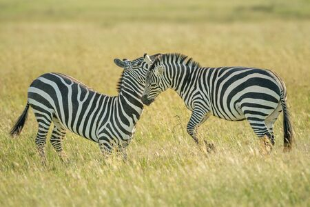 Two plains zebra fight in long grass