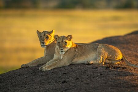 Two lionesses lie on bank at dawn Standard-Bild