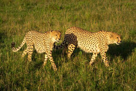 Two male cheetah walk through sunlit grassland