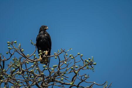 Verreaux eagle in tree under blue sky