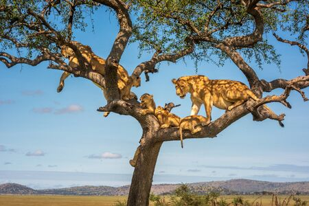 Two lionesses with four cubs in tree Standard-Bild