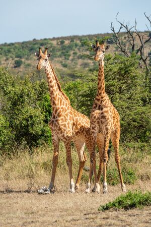 Two Masai giraffe stand side-by-side in clearing