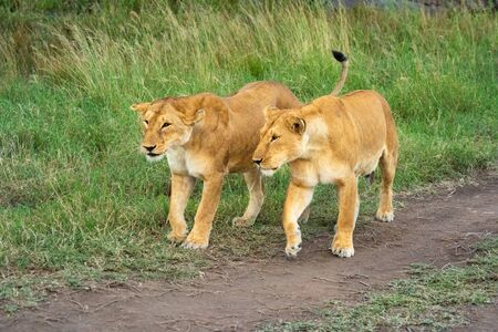 Two lionesses walk across dirt track side-by-side