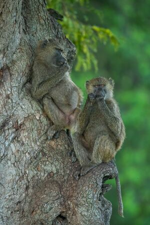 Two olive baboons sit in tree relaxing