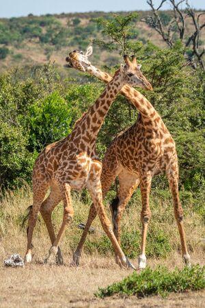 Two Masai giraffe in grassy clearing necking