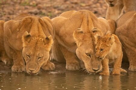 Two lionesses lie drinking water by cub Standard-Bild