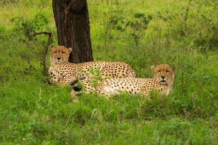 Two male cheetah lie beside tree trunk Standard-Bild