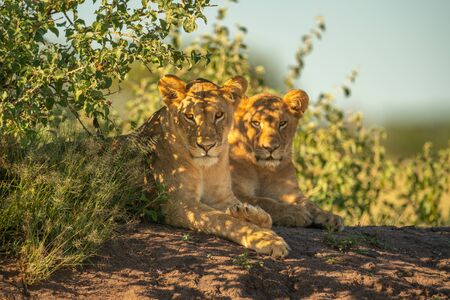 Two lionesses lie by bushes eyeing camera Standard-Bild