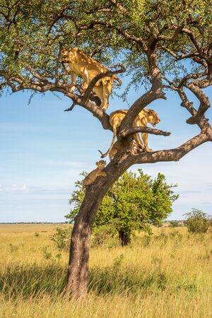 Two lionesses stand in tree with cubs Standard-Bild