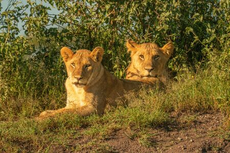 Two lionesses lie by bushes watching camera
