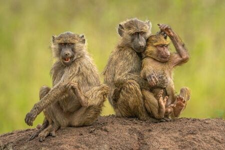 Two olive baboons sit hugging beside another Standard-Bild