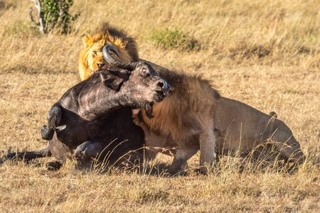 Two male lion hold down Cape buffalo