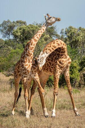 Two Masai giraffe stand necking near trees