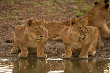 Two lionesses lie by muddy water hole