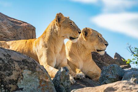 Two lionesses lie together looking over rocks Standard-Bild