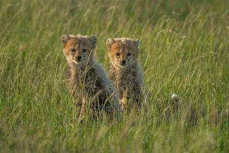 Two young cheetah cubs sit facing camera