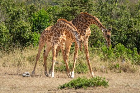 Two Masai giraffe stand with lowered heads Standard-Bild