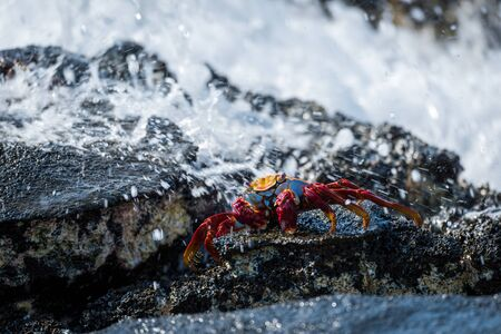 Sally Lightfoot crab hit by ocean spray