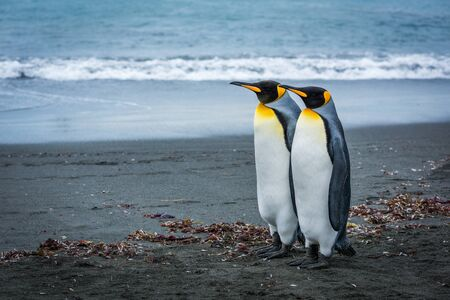 Two king penguins standing side-by-side on beach
