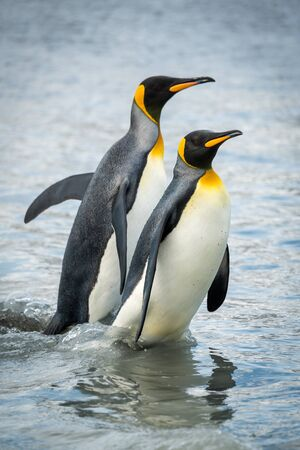 Two king penguins wading through shallow water Banque d'images