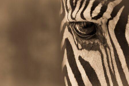 Sepia close-up of eye of Grevy zebra