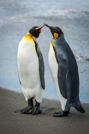 Two king penguins touching bills on beach Standard-Bild