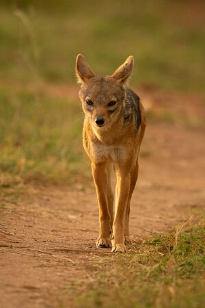 Black-backed jackal stands on track eyeing camera Stock Photo