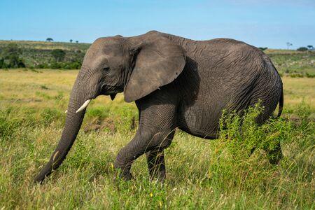 African elephant walks past bush on plain