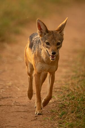 Black-backed jackal trots along track towards camera Stock Photo