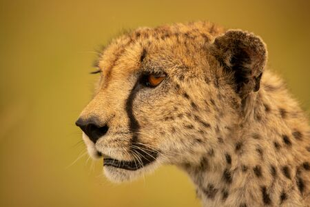 Close-up of cheetah face with green bokeh