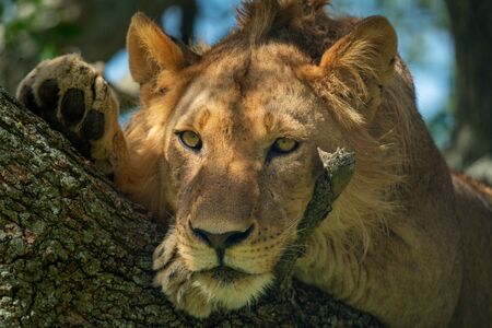 Close-up of male lion lying in tree Imagens